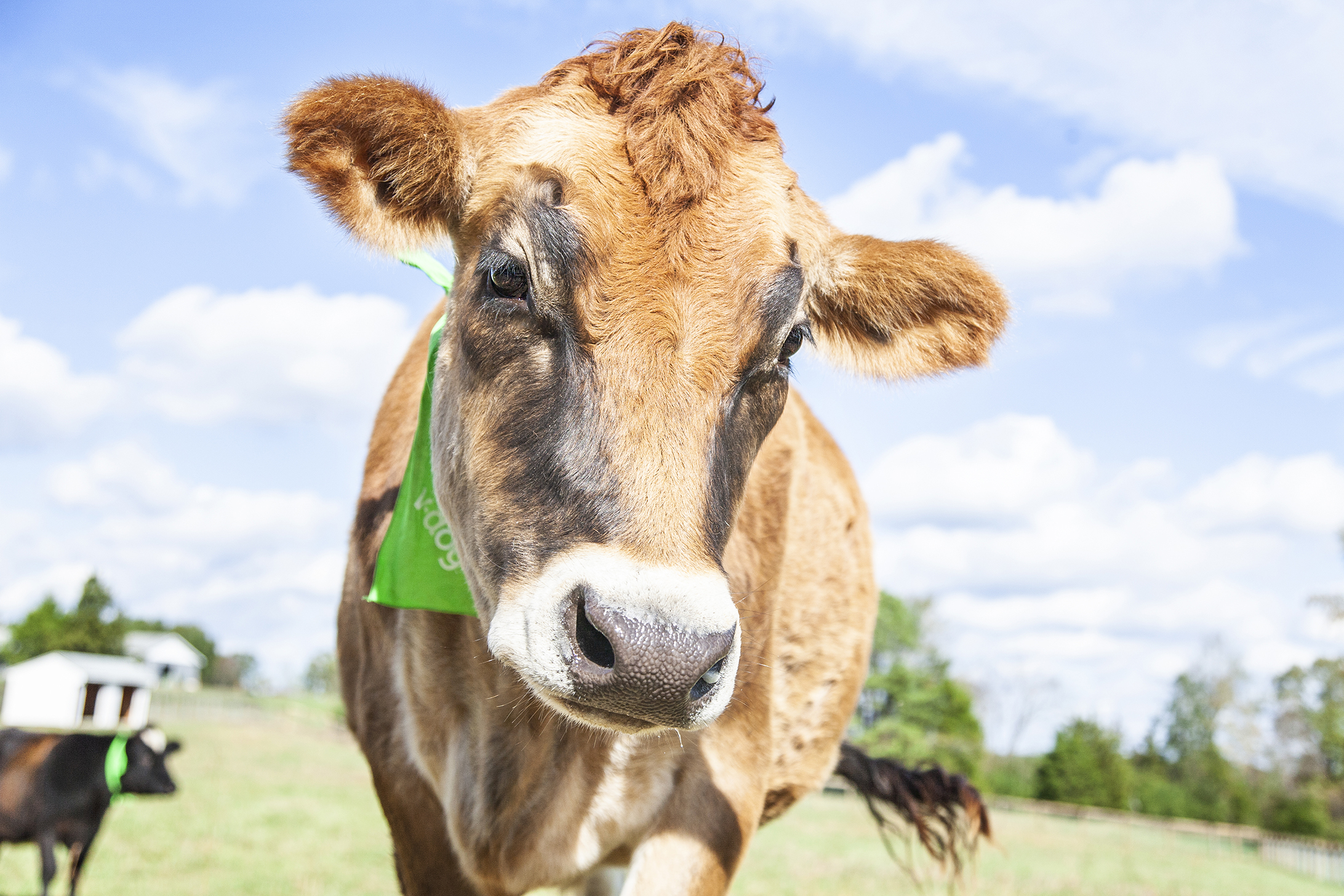 Farm animal sanctuary, rescue cow, rescue steer, cow photography
